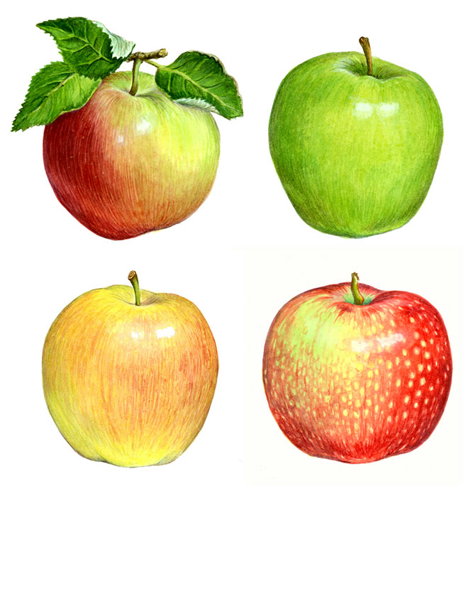 Watercolor_apples_660