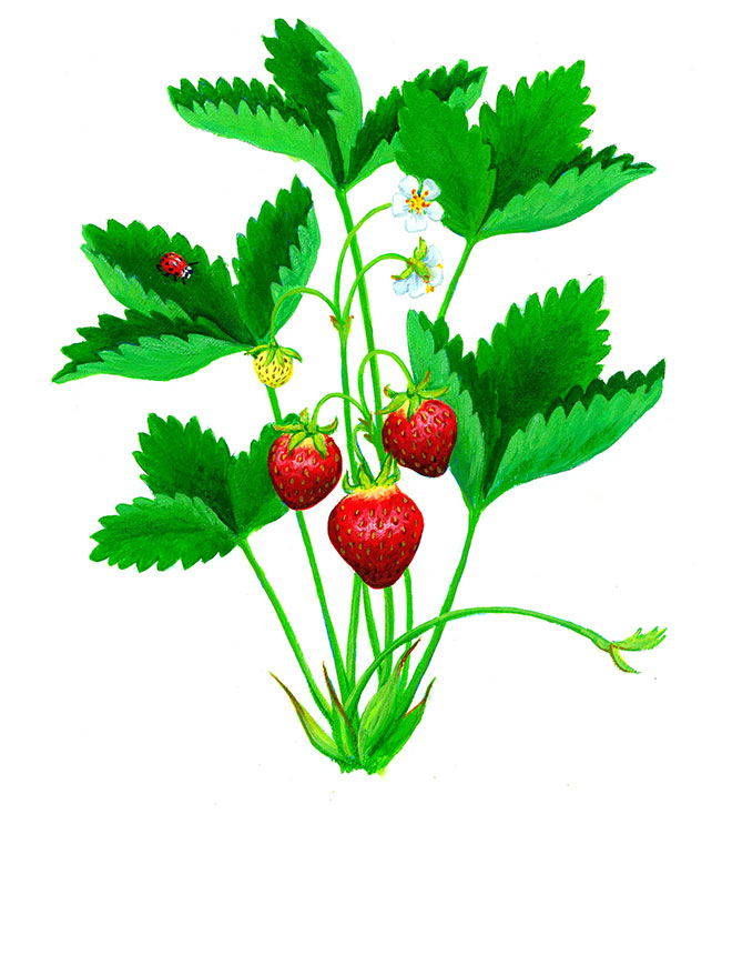 Watercolor_strawberry_660
